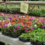 bedding_plants_200